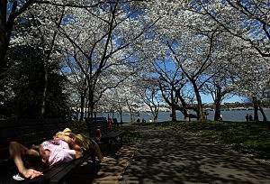 Cherry Blossom Festival Celebrates Washington's Symbol Of Spring