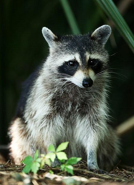 Raccoon (Getty)