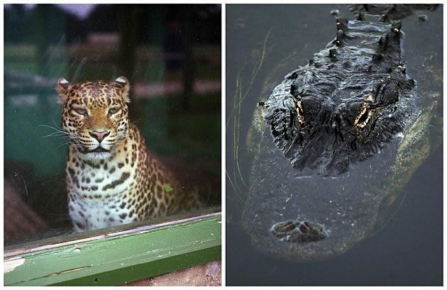 Jaguar & Gator (Getty)